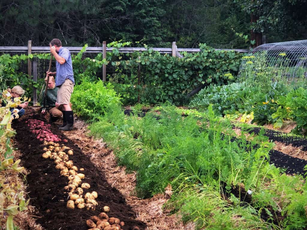 Picture of a garden and potatoes freshly harvested.