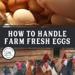 "Two images, one of a hand grabbing an egg out of a pile, the other is a bunch of chickens outside. Text overlay says, ""How to Handle Farm Fresh Eggs"""