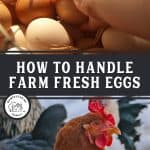 "Two images, the top image is of a hand grabbing an egg out of a pile. The bottom image is an upclose picture of a chicken's head. Text overlay says, ""How to Handle Farm Fresh Eggs"""
