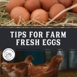 "Two images, one of a nesting box filled with eggs. The other of a chicken. Text overlay says, ""Tips for Farm Fresh Eggs"""