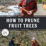 "Pinterest pin with two images. Top image is of a man holding a pocket saw, bottom image is of two men pruning an apple tree. Text overlay says, ""HOW TO PRUNE FRUIT TREES"""