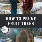 "Two images, the top image is of two men standing outside talking, bottom image is of a tree trunk that's had a branch sawed off. Text overlay says, ""HOW TO PRUNE FRUIT TREES"""