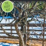 "Image of a pruned apple tree. Text overlay says, ""HOW TO PRUNE FRUIT TREES"""