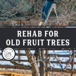 "Two images, top image is of a man standing on a ladder pruning a fruit tree. Bottom image is of a pruned apple tree. Text overlay says, ""Rehab for Old Fruit Trees"""