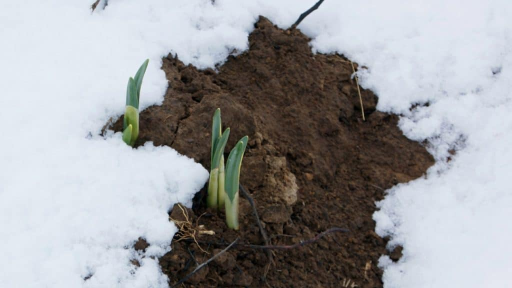 Plants growing up through snow covered ground.