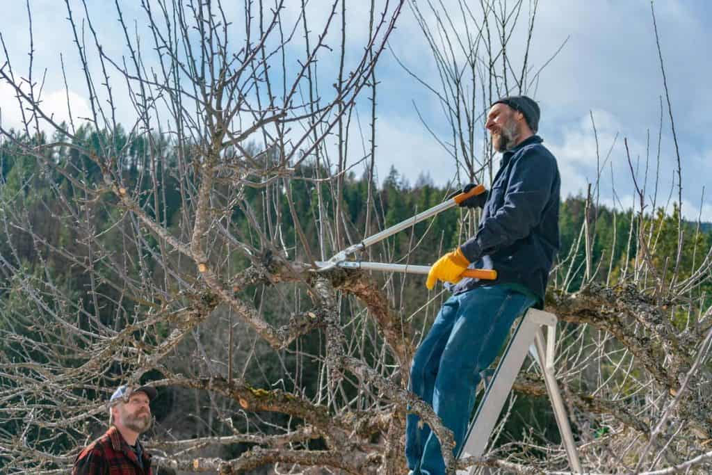Man on a ladder pruning an apple tree.