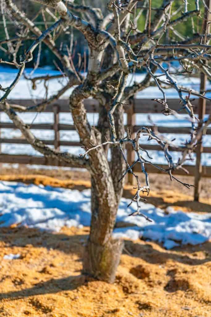 Pruned apple tree.