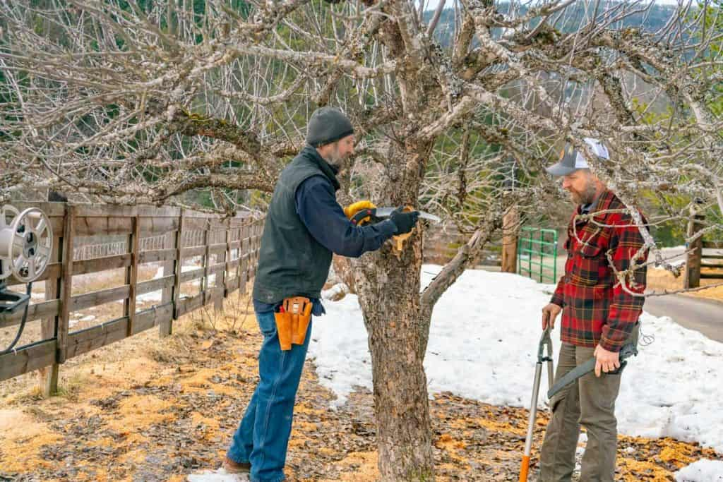 Two men pruning an apple tree.