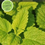 "Picture of lemon balm with text overlay, ""15 Medicinal Herbs to Grow""."