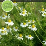 "Picture of Chamomile with text overlay, ""15 Medicinal Herbs You Can Grow""."