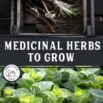 """Two images, one of horseradish and one of peppermint. Text overlay says, """"Medicinal Herbs to Grow""""."""
