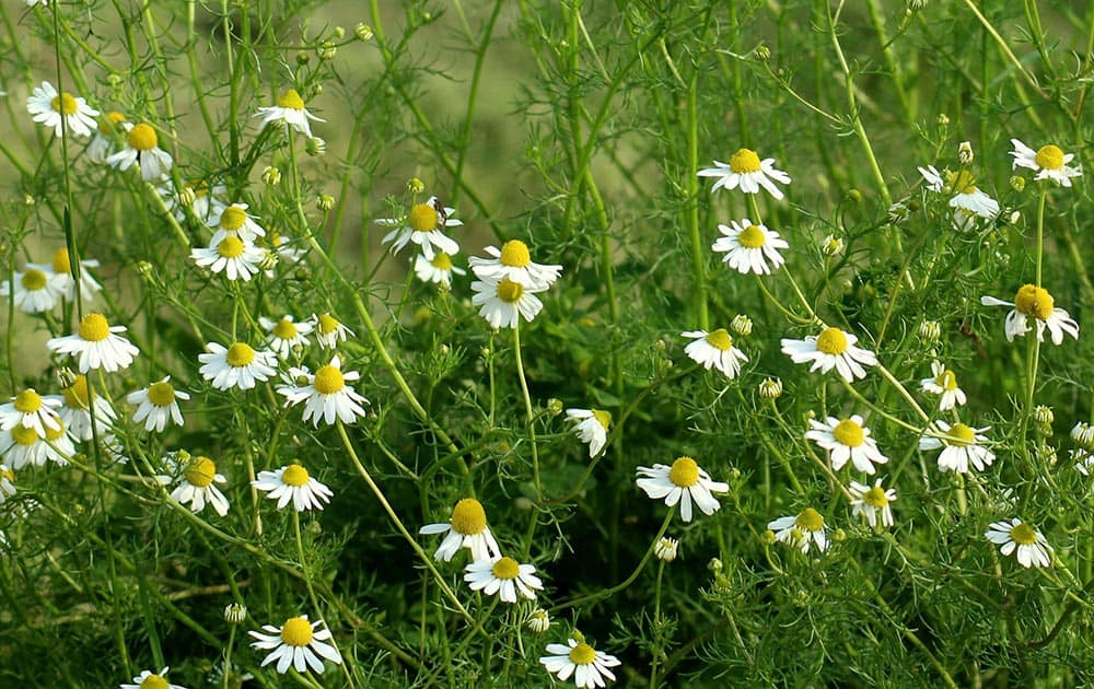 White Chamomile flowers.