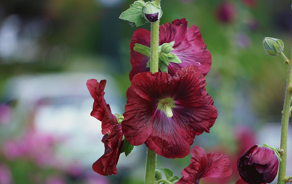 Dark red hollyhock flowers.
