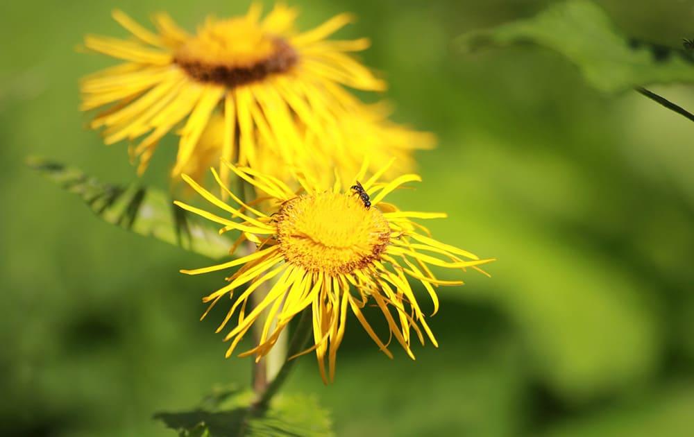 Yellow Elecampane flowers.