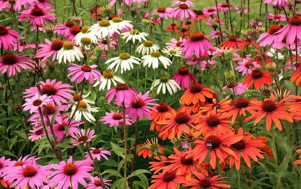 Multi-colored echinacea flowers.