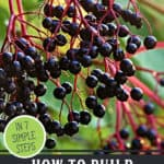 """Picture of elderberries on the branch. Text overlay says, """"How to Build Your Immune System Naturally""""."""