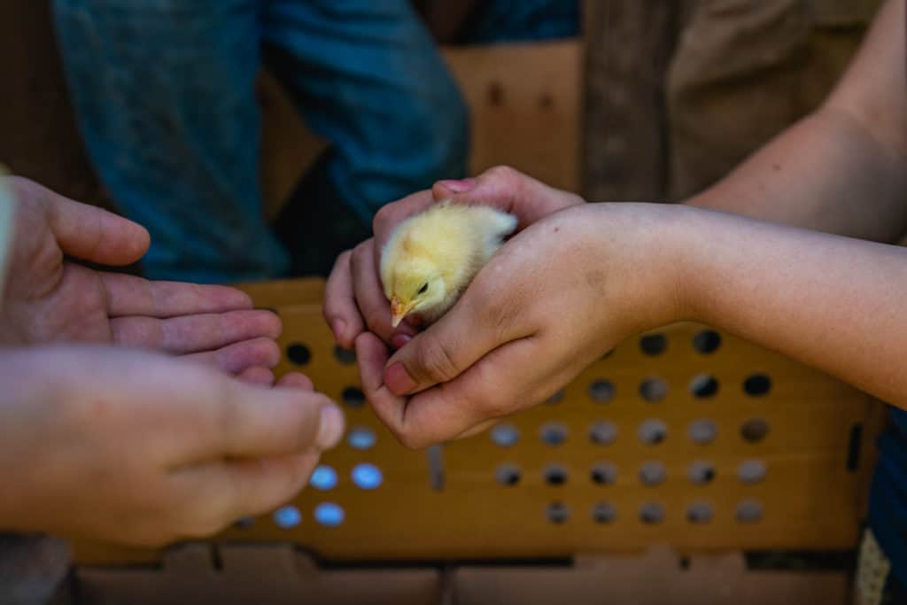Kids hands holding a baby chick.