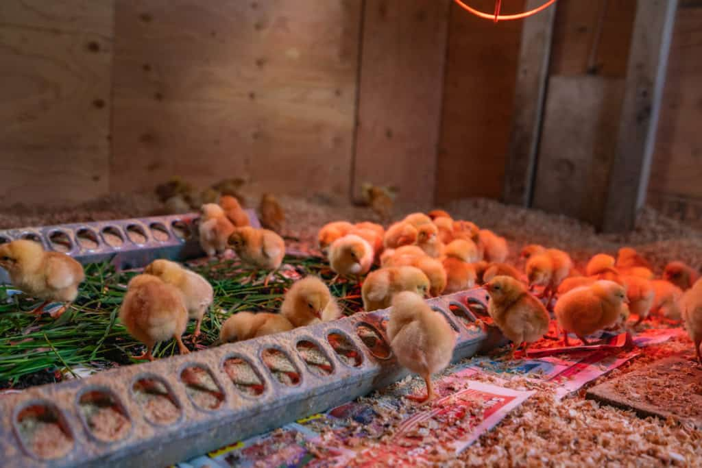 Baby chicks eating from a chick feeder.