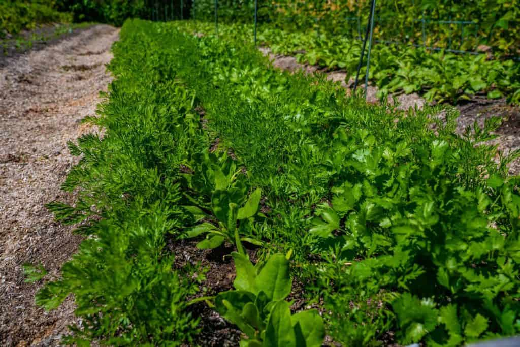 Carrots, cilantro and spinach growing together in a large row.