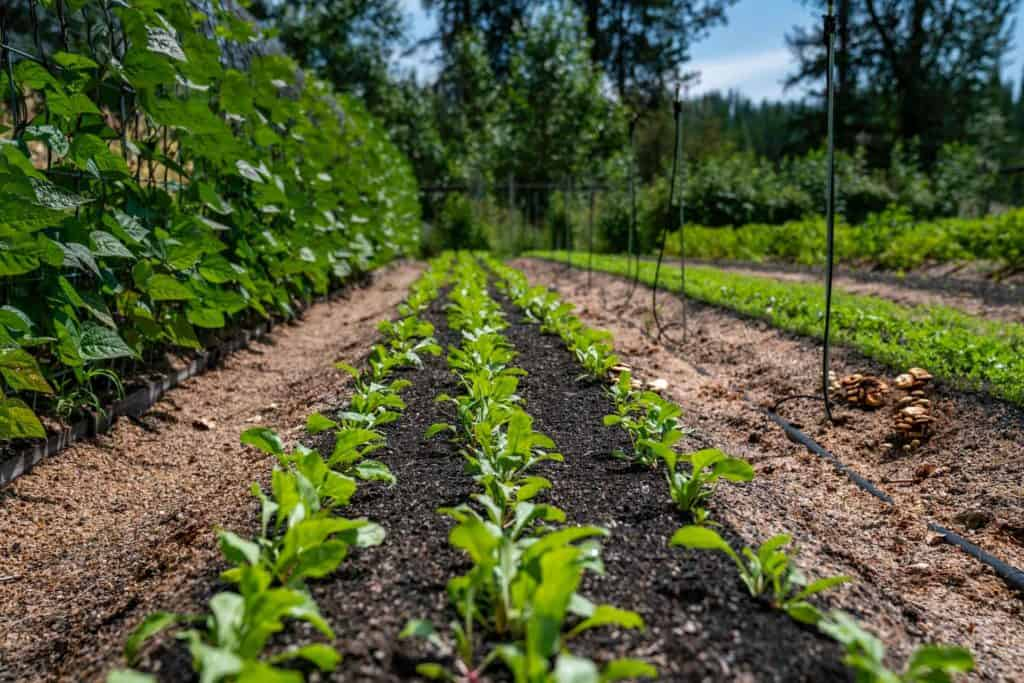 Long rows of spinach in a garden.