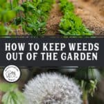 """Pinterest pin with two images. One of a garden row growing vegetables, the other of a dandelion gone to seed. Text overlay says, """"How to keep weeds out of the garden""""."""