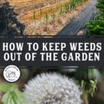 """Pinterest pin with two images. One of a large garden, the other of a dandelion gone to seed. Text overlay says, """"How to keep weeds out of the garden""""."""