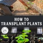 "An image of a man planting a tomato plant into the garden, and another image of tiny plant starts in little pots. Text overlay says, ""How to Transplant Plants""."