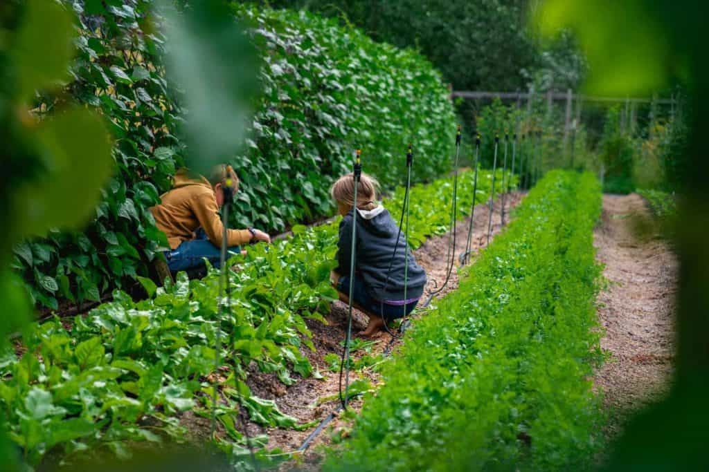 Two kids picking spinach in a large garden.