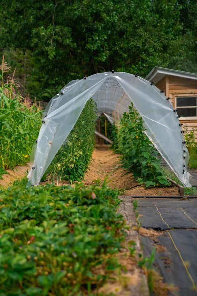 Large hoop house with a strawberry bed and landscaping fabric in the foreground.