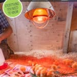 """A bunch of chicks under a heat lamp in a brood coop. Text overlay says, """"Raising Meat Chickens 101""""."""