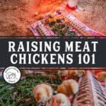 """Two images of baby chicks with text overlay, """"Raising Meat Chickens 101"""""""