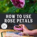 "Pinterest pin with a rose on a bush and dried rose petals in a glass pan. Text overlay says, ""How to Use Rose Petals."""