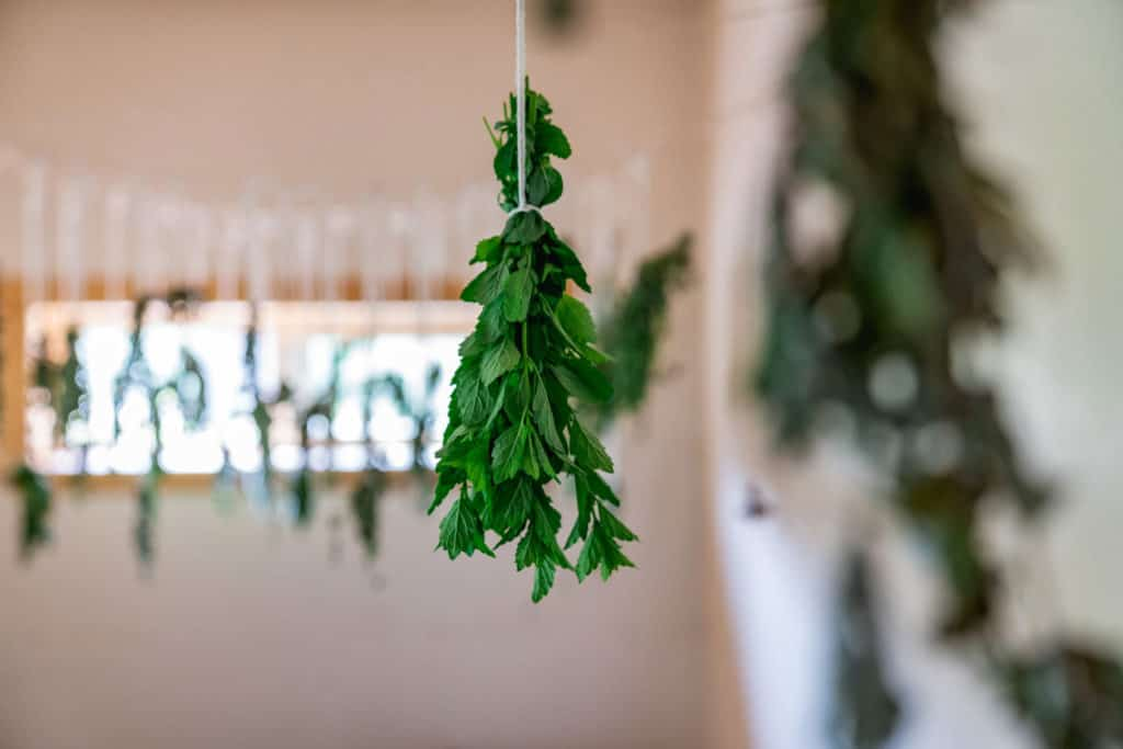Multiple bunches of drying herbs hanging from the ceiling.