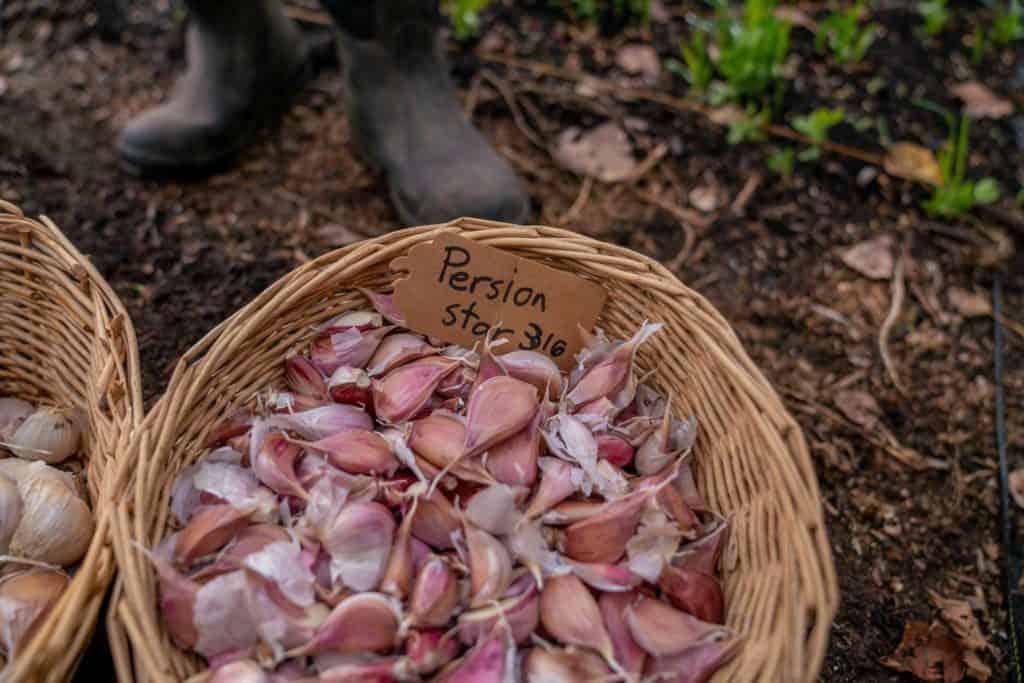 A basket full of Persian garlic cloves.