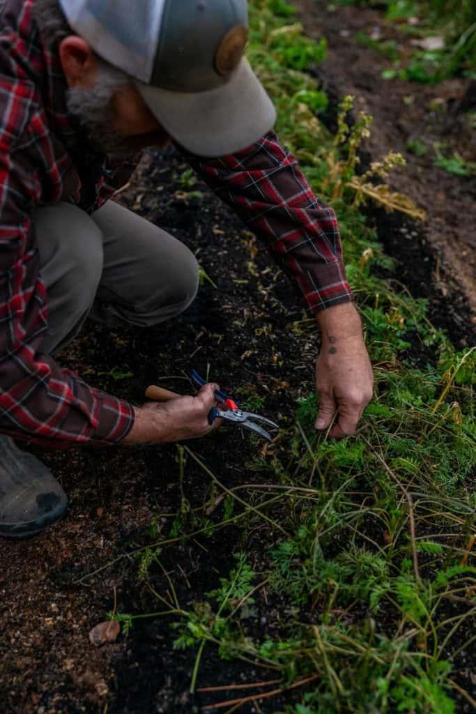A man cutting back dead crops in the garden.