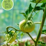 Pinterest pin with an image of a tomato plant growing in the garden.