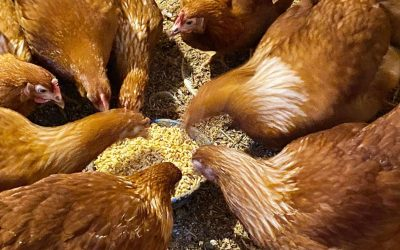 How to Ferment Chicken Feed for Cheaper Healthier Chickens