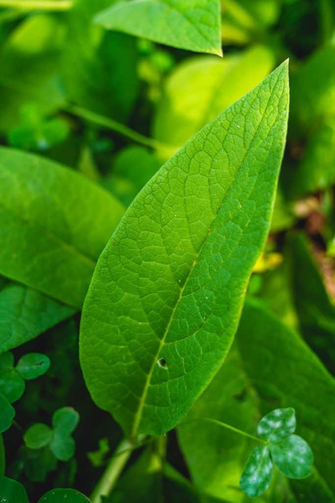 A comfrey leaf.