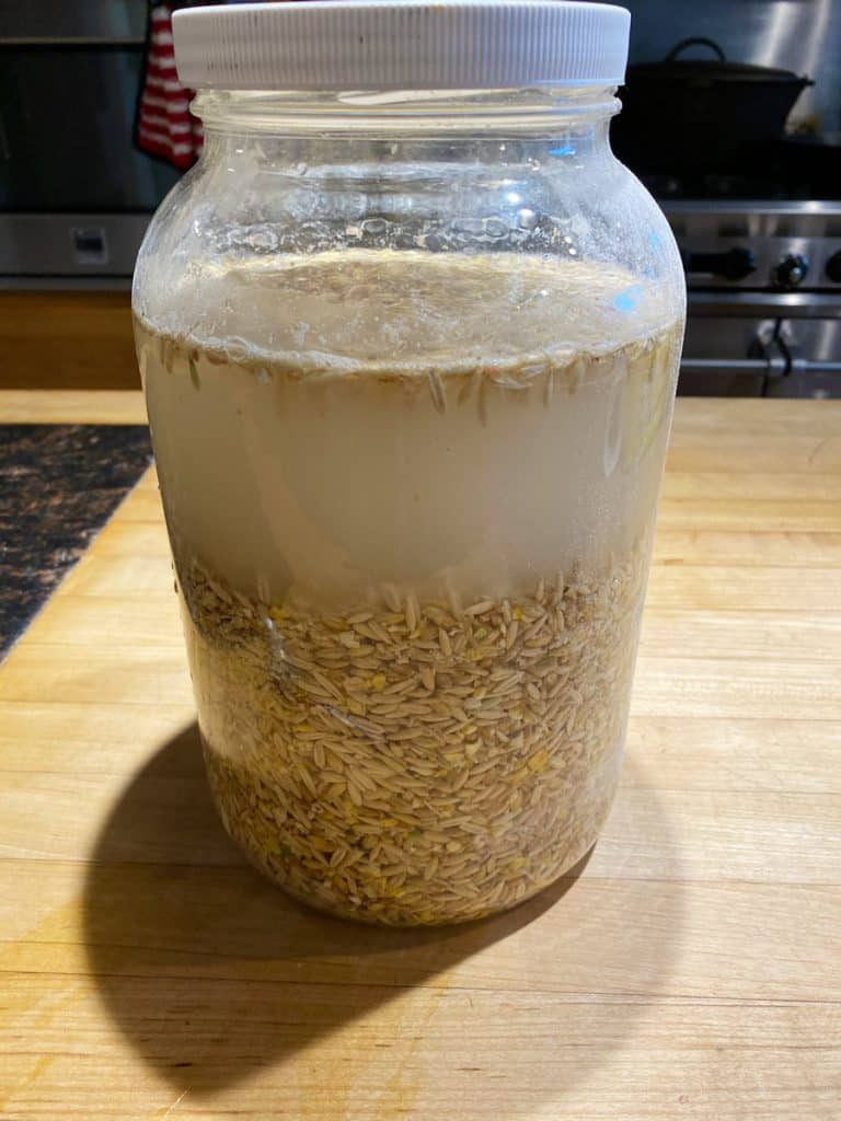 Fermented chicken feed on day one of fermentation in a gallon glass jar.