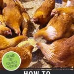 Pinterest pin on how to ferment chicken feed with an image of a chickens eating.