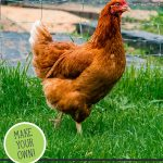 Pinterest pin on how to ferment chicken feed with an image of a chicken in the grass.