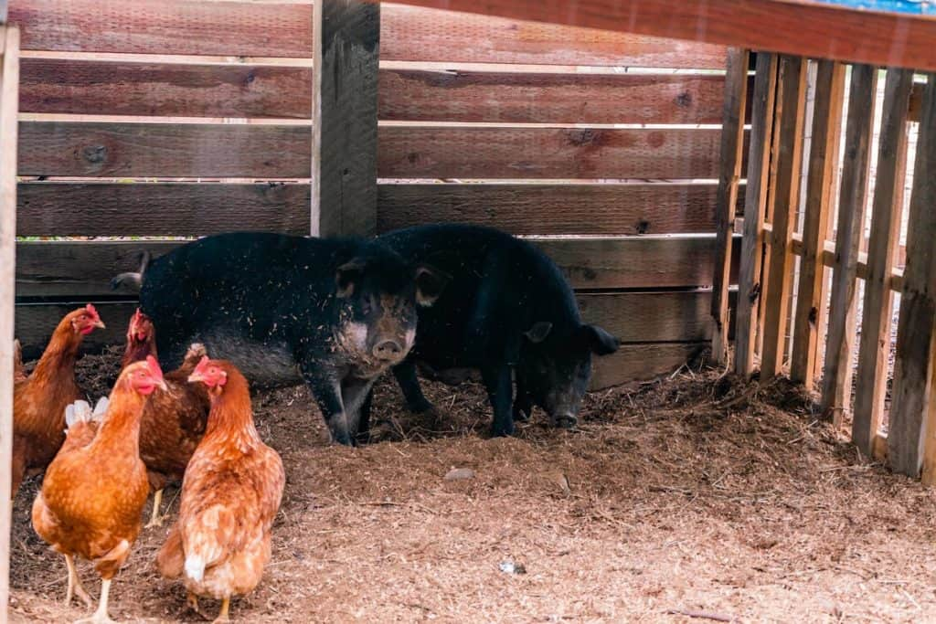 Two pigs and some chickens in the pig pen.