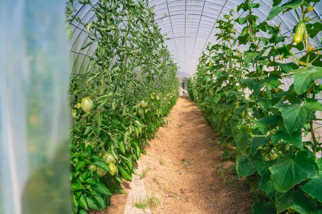 The inside view of a hoop house with tomatoes growing on one side and beans and peas on the other side.