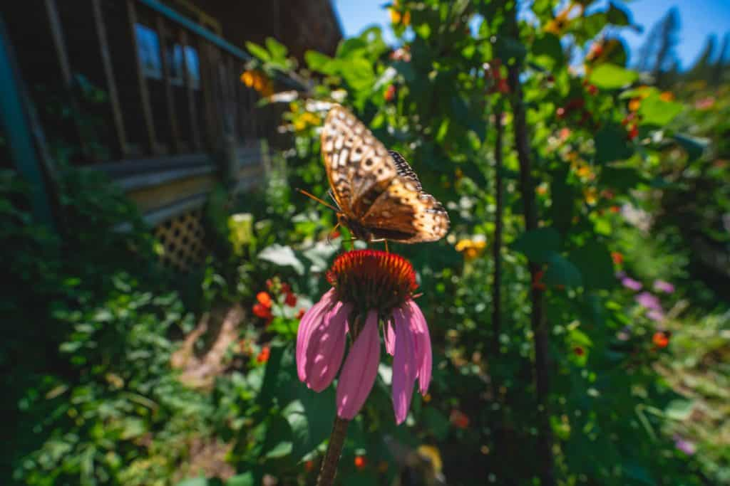 A butterfly sitting on top of a flower in a cottage garden.