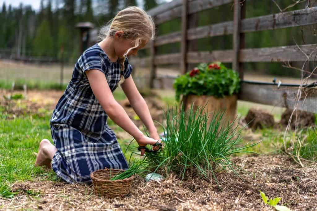 A young girl cutting chives from a bush in a cottage garden.