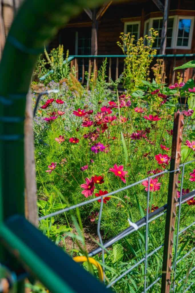 Looking through a gate at a beautiful and colorful cottage garden.