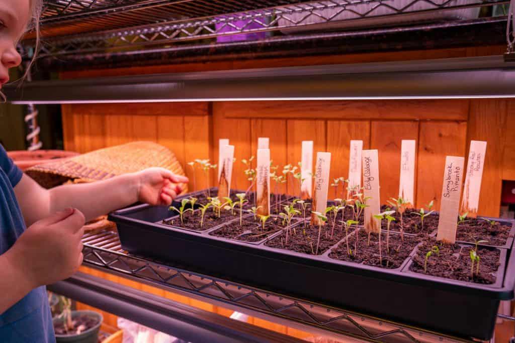 Seedlings growing indoors under grow lights.