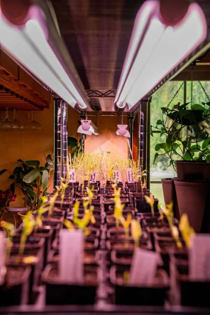 Image of seedlings in seed starting pots under grow lights.