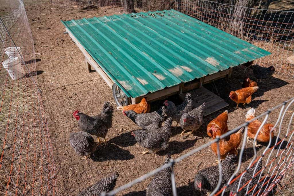 Chickens pecking and scratching the ground outside a chickshaw (mobile chicken coop).