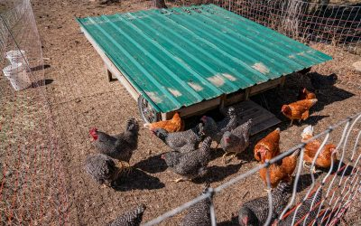 Using Chickens to Restore the Land